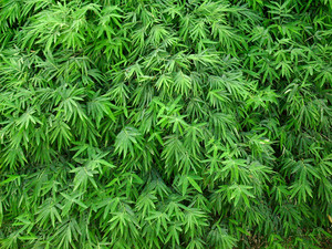 Green_leaves_background