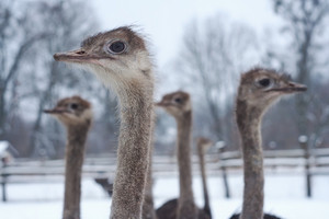 Group of ostriches on a farm with winter landscape--