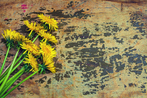 Grunge background with dandelion flowers