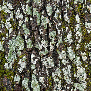 Grunge Tree Bark Seamless Texture Tile