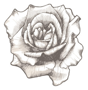 Hand Drawn Rose Vector Illustration
