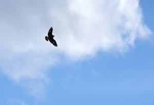 Hawk Flying In The Sky