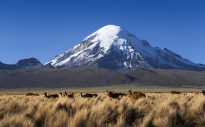Herd of alpacas grazing under a snow-capped mountain