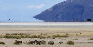 Herd of alpacas on a vast desert plain