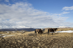 Herd of horses grazing in a frosty, mountainside field