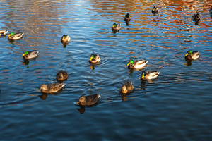 Herd of mallard ducks swimming in pond. Birds in outdoor