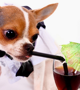 High Class Thirsty Chihuahua Having A Drink