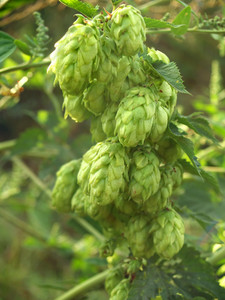 Hops In The Garden