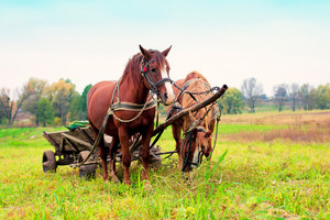 Horses with cart in the meadow
