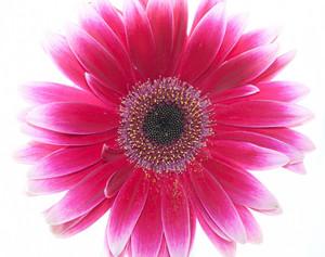 Hot Pink Gerbera Daisy Close Up