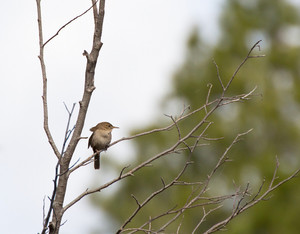 House Wren Bird