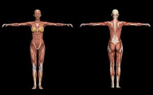 Human Anatomy  Female Muscles