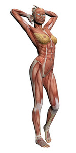 Human Anatomy   Female Muscles