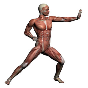 Human Anatomy   Male Muscles
