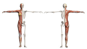 Human Body Of A Female With Muscles And Skeleton
