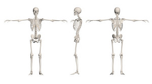 Human Skeleton   Male