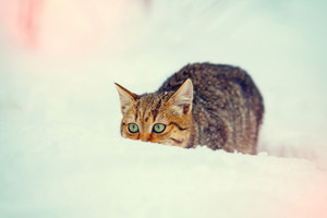 Hunter cat sneaking in the snow