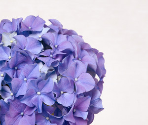 Hydrangea flowers for background