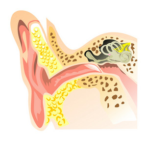 Interior Ear