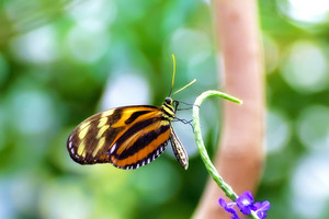 Isabella Longwing Butterfly Closeup