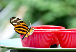 Isabella's Longwing Butterfly