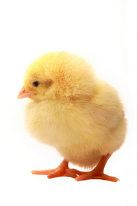 Isolated Easter Chick