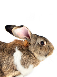 Isolated Rabbit With Ears Up