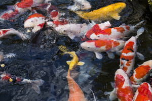Japanese carps fish on water pool