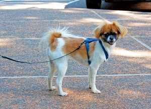 Japanese Chin Mix Dog