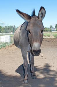 Jerusalem Donkey