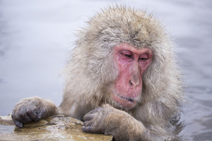 Jigokudani snow monkey bathing onsen hotspring famous sightseeing in Japan.