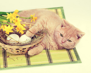 Kitten lying near nest with eggs