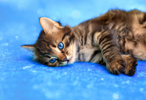 Kitten lying on a blue background
