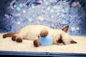 Kitten sleeps on Christmas background