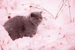 Kitten walking in snow. Pink tinted.