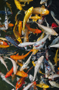 Koi Fish In Water