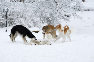 large Borzoi sight-hounds playing in the snow