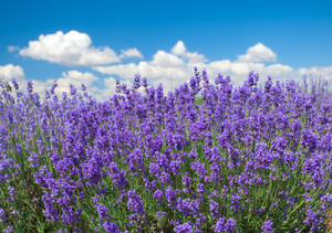 Lavender against blue sky background