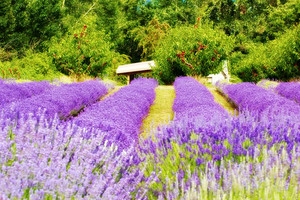 Lavender Flowers Farm