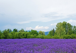 Lavender Flowers Valley