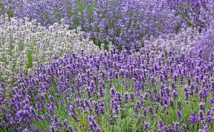 라벤더 꽃