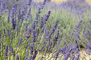 Lavender Picture