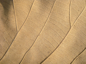 Leaf In Dry
