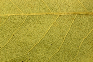 Leaf Texture 40