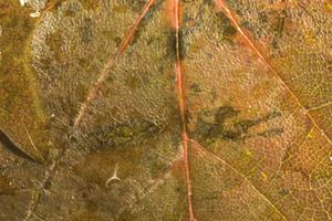 Leaf Texture 48