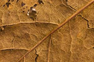 Leaf Texture 56