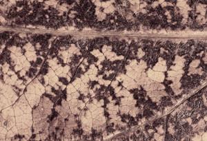 Leaf Texture 62