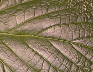 Leaf Texture 75