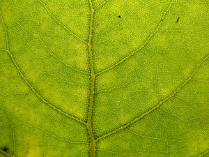 Leaves 12 Texture