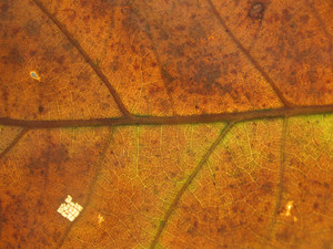 Leaves 21 Texture